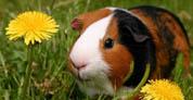 Mascota de la semana: Chanchito de la India