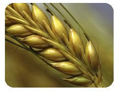 Síntomas de la cizaña y frutos del trigo