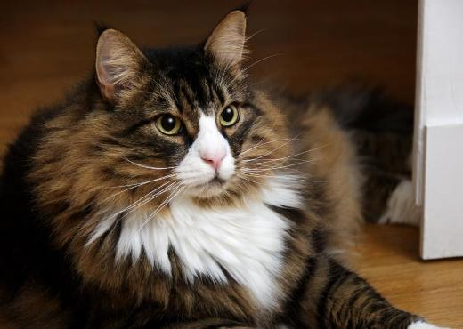 Mascota de la semana – Gato norwegian forest