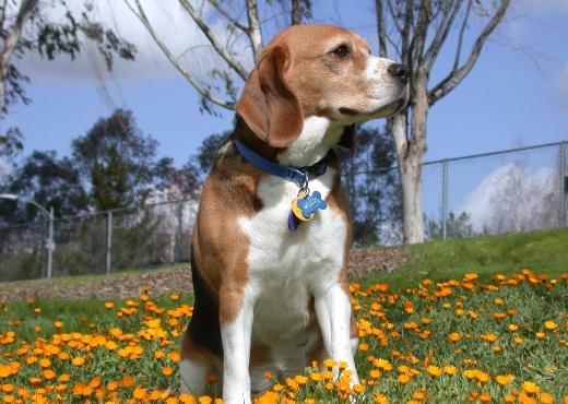 Mascota de la semana – Beagle