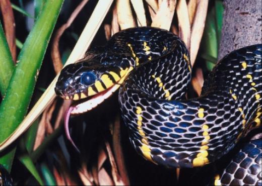 El veneno de cobra puede ayudar a tratar diabetes y cáncer