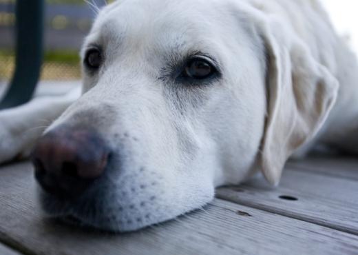 Mascota de la semana: Labrador Retriever