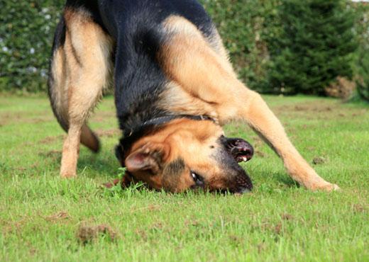 Cómo combatir pulgas y garrapatas en el perro