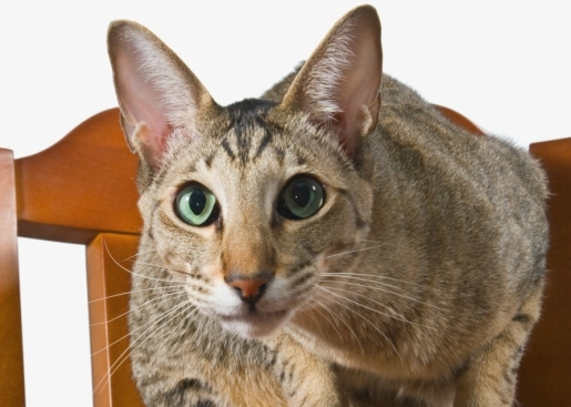 Mascota de la semana – El gato oriental