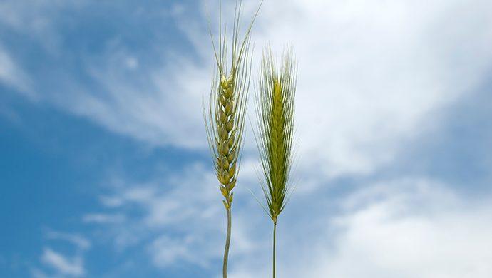 La cizaña y el trigo