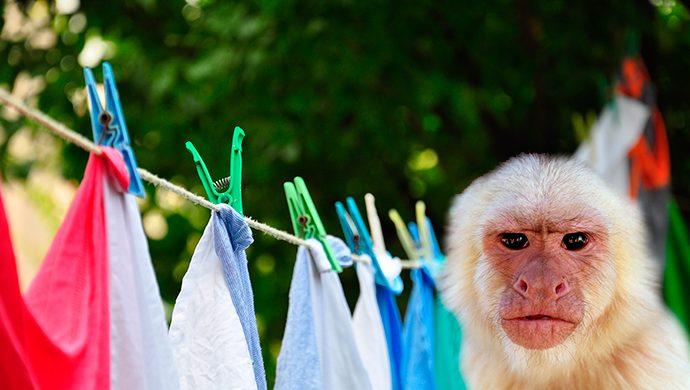 El mono y el broche