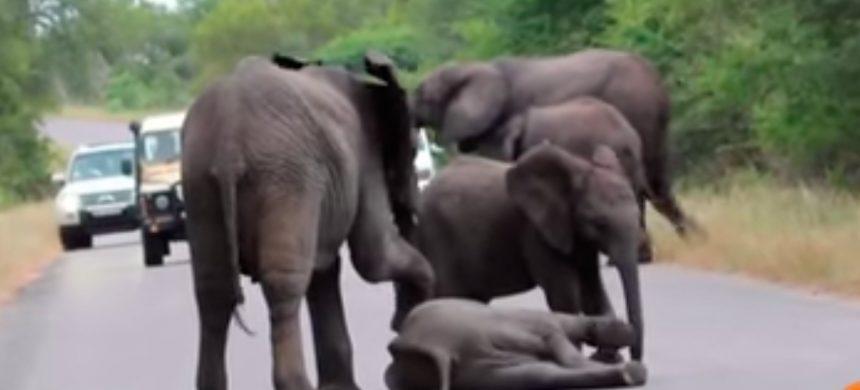 Elefante exhausto se recuesta en el camino y es sorprendido por la manada