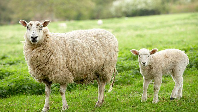 Cordero y oveja
