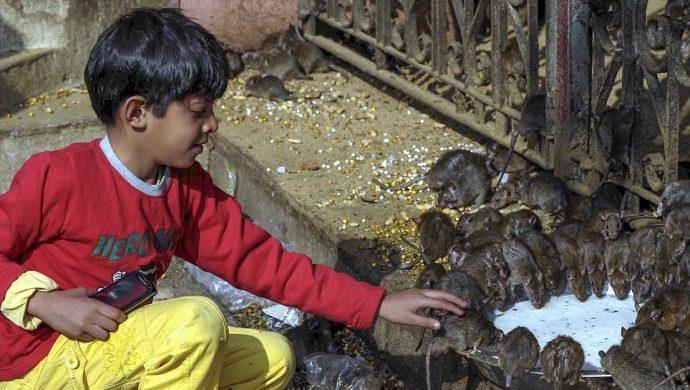 Religiosos veneran ratas en el templo indiano