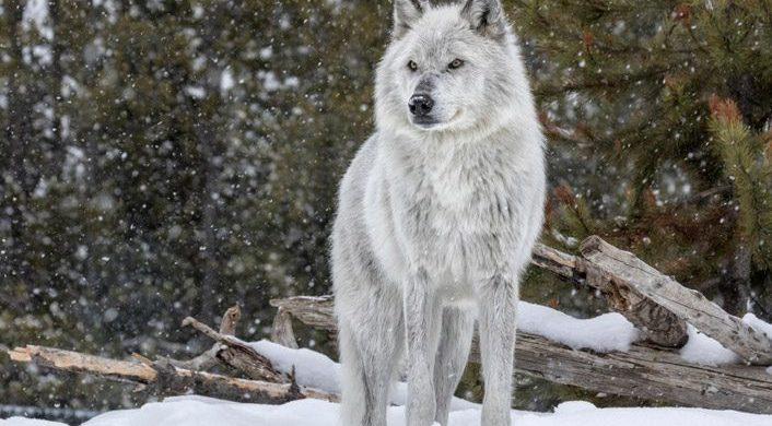 Cómo los lobos cambian los ríos
