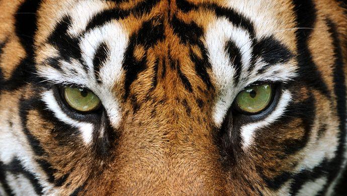 Mujeres son atacadas por tigres en China