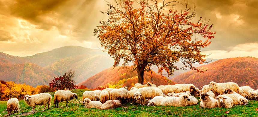 Las ovejas del rebaño