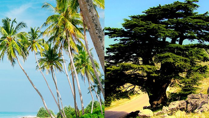 La palmera y el cedro