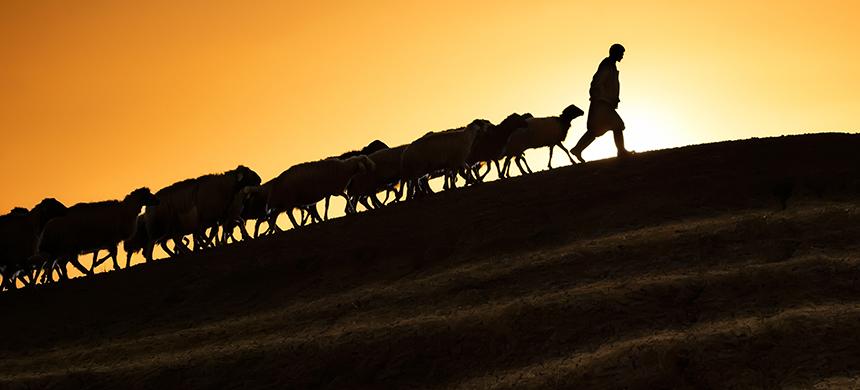 El pastor y las ovejas