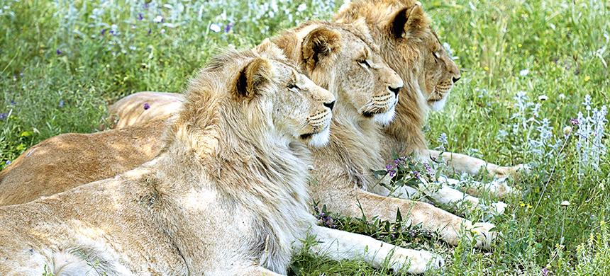Los tres leones