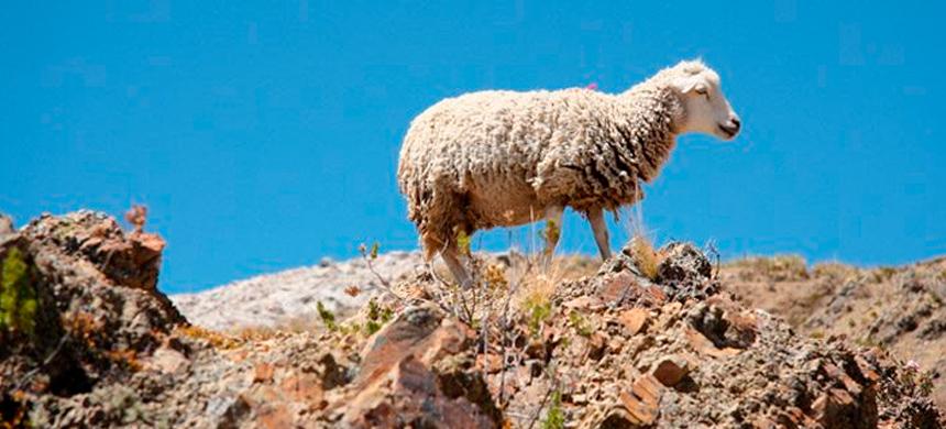 Como oveja lejos del Pastor…