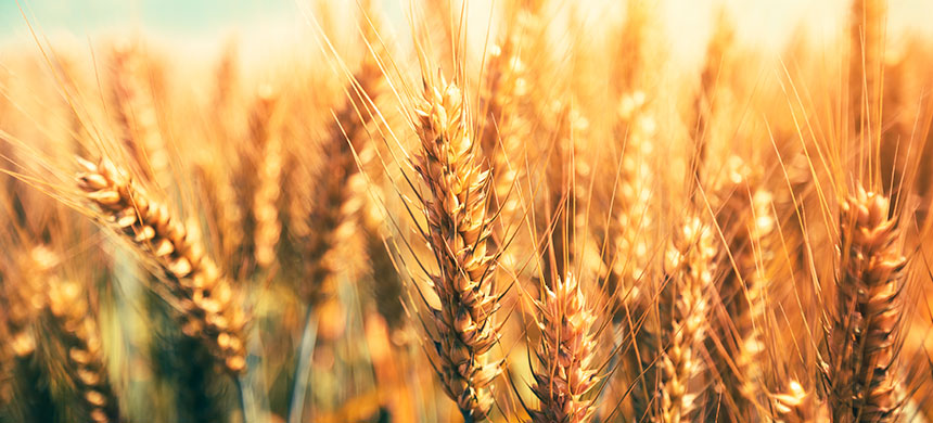 Cizaña o trigo: ¿quién ha sido usted?